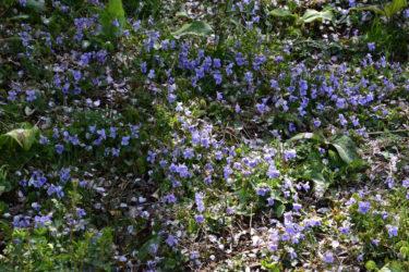 4月9日のかたくり開花状況