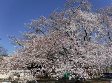 4月4日の桜開花状況