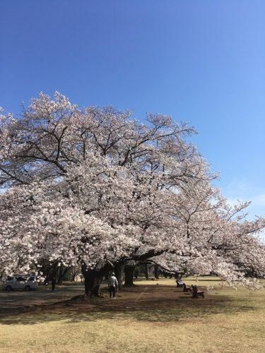 4月5日桜開花状況