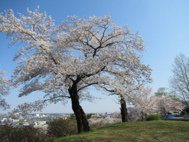 4月7日の桜開花状況