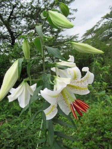 7月6日の山ゆり開花状況
