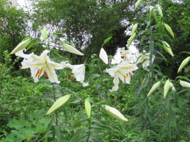 7月15日の山ゆり開花状況