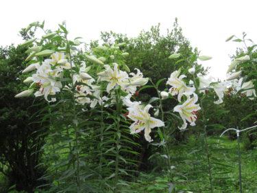 7月18日の山ゆり開花状況